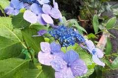 当館に咲く紫陽花